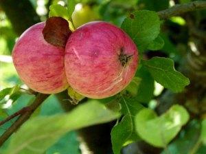 Äpfel im Spätsommer (c) Frank Koebsch (1)