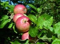 Äpfel im Spätsommer (c) Frank Koebsch (2)