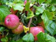 Äpfel - taufrisch im Spätsommer (c) Frank Koebsch (1)