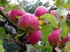 Äpfel - taufrisch im Spätsommer (c) Frank Koebsch (3)
