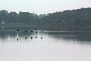 Gänse auf dem Weg zu Ihren Schlafplätzen auf dem Rederang See ©Frank Koebsch
