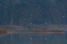 Kraniche landen auf den Schläfplätzen des Rederang See im Müritz-Nationalparks © Frank Koebsch (2)