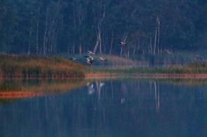 Kraniche landen auf den Schläfplätzen des Rederang See im Müritz-Nationalparks © Frank Koebsch (3)