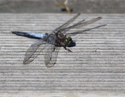 Libellen genießen die Sonne des Spätsommers (c) Frank Koebsch (1)