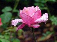 Rosen sind wunderbare Motive im Spatsommer (c) Frank Koebsch (2)