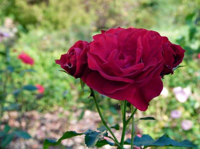 Rosen sind wunderbare Motive im Spatsommer (c) Frank Koebsch (3)