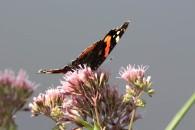 Schmetterling wie der Admiral genießen die Blüten im Spätsommer (c) Frank Koebsch (1)