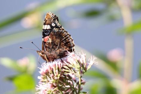 Schmetterling wie der Admiral genießen die Blüten im Spätsommer (c) Frank Koebsch (2)