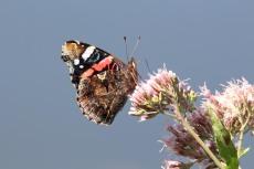 Schmetterling wie der Admiral genießen die Blüten im Spätsommer (c) Frank Koebsch (3)