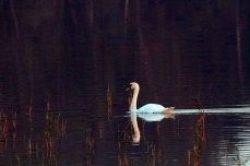 Schwäne in der Abenddämmerung auf dem Rederang See des Müritz-Nationalparks ©Frank Koebsch (4)
