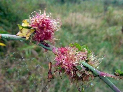 Tau auf den Blüten im Spätsommer (c) Frank Koebsch (1)