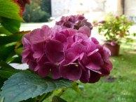 Hortensien in der Herbstsonne (c) Frank Koebsch