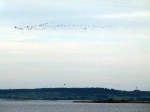 Kraniche auf den Weg von Hiddensee nach Rügen (1)