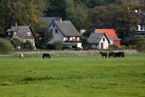Pferde auf Hiddensee (c) FRank Koebsch