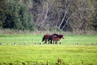 Pferde auf Hiddensee jagen Gänse (c) FRank Koebsch (1)