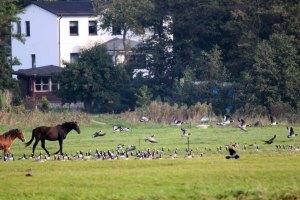 Pferde auf Hiddensee jagen Gänse (c) FRank Koebsch (2)