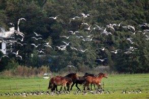 Pferde auf Hiddensee jagen Gänse (c) FRank Koebsch (3)