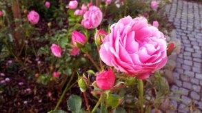 Rosen im Garten von TO HUS in Middelhagen (c) Frank Koebsch (1)