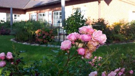 Rosen im Garten von TO HUS in Middelhagen (c) Frank Koebsch (2)