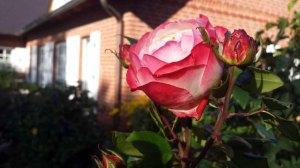 Rosen im Garten von TO HUS in Middelhagen (c) Frank Koebsch (3)