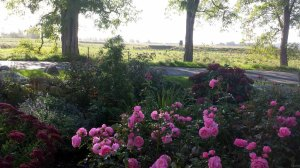 Rosen im Garten von TO HUS in Middelhagen (c) Frank Koebsch (4)