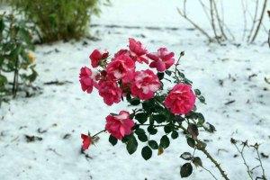 Rosen im Schnee (c) Jost Grünheid