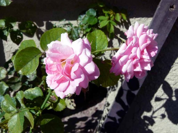 Rosen in der Herbstsonne von Griebenow (c) Frank Koebsch (1)