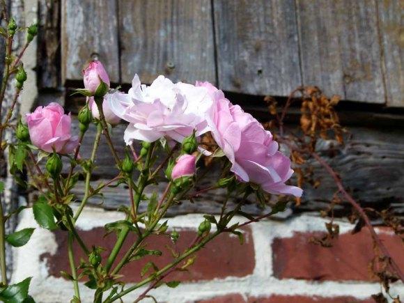 Rosen in der Herbstsonne von Griebenow (c) Frank Koebsch (2)