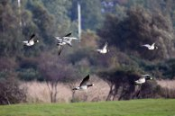 Weißwangengänse auf Hiddensee (c) Frank Koebsch (3)