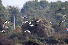 Weißwangengänse auf Hiddensee (c) Frank Koebsch (4)
