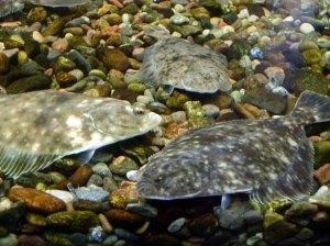 Blick in die Ostseeaquarium des NATUREUMS Darßer Ort (c) Frank Koebsch (2)