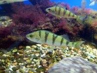 Blick in die Ostseeaquarium des NATUREUMS Darßer Ort (c) Frank Koebsch (3)