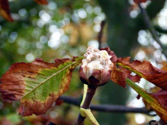 Im Oktober blühen die Kastatinen an der Ostsee (c) FRank Koebsch (2)
