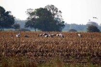 Kraniche auf den Maisfeldern von Ummanz (c) FRank Koebsch
