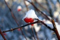 Hagebutte als Farbtupfer im Schnee (c) Frank Koebsch