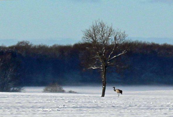 Kranich im Winter Mecklenburgs (c) Frank Koebsch (1)