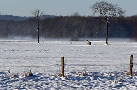 Kranich im Winter Mecklenburgs (c) Frank Koebsch (3)