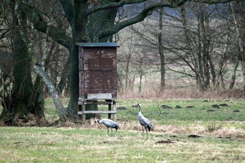 Ganz entspannt - Kraniche im Frühling (c) Frank Koebsch (3)