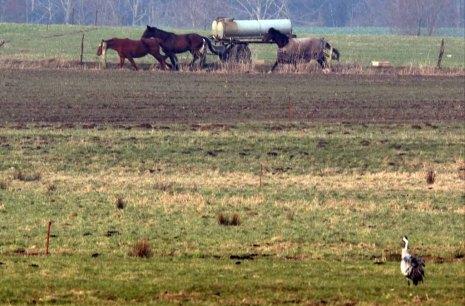Kraniche als Zuschauer wenn im Frühling die Pferde durchgehen (c) Frank Koebsch