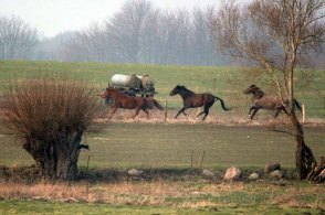 Pferde wenn im Frühling der Hafer sticht (c) Frank Koebsch