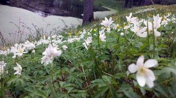 Buschwindröschen im Schlosspark Griebenow (c) Frank Koebsch