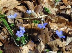 Das Blau der Leberblümchen (c) Frank Koebsch (1)