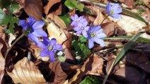 Das Blau der Leberblümchen (c) Frank Koebsch (2)