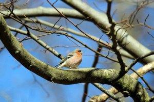 Ein Buchfink begrüßt den Frühling (c) Frank Koebsch (2)