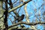 Eine Amsel in der Frühlingssonne (c) Frank Koebsch (1)