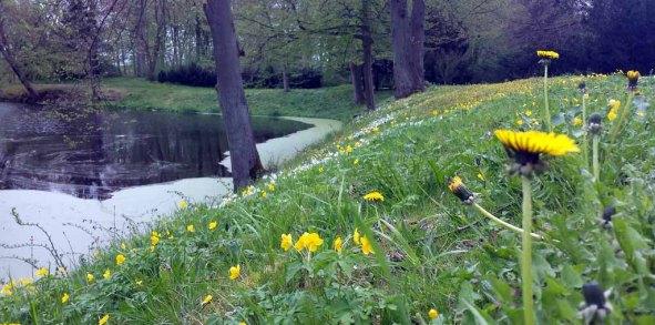 Löwenzahn im Schlosspark Griebenow (c) Frank Koebsch