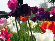 Tulpen als Flammenmeer (c) FRank Koebsch