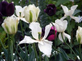 interesssante Formen für eine Tulpe (c) Frank Koebsch