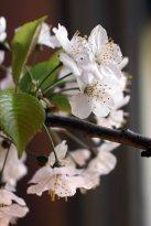 Kirschblüten in der Ausstellung von Hanka u Frank Koebsch im Schloß Griebenow
