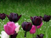 Schwarz kann eine tolle Frabe für Tulpen sein (c) FRank Koebsch